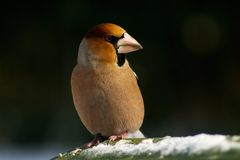 Pájaro del Hawfinch Fotografía de archivo