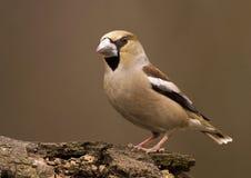 Pájaro del Hawfinch Foto de archivo libre de regalías