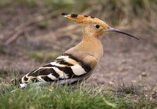 Pájaro del Hoopoe Foto de archivo libre de regalías