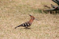 Pájaro del Hoopoe imagenes de archivo