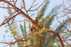Pájaro del Hoopoe, encaramado en una rama de árbol en Egipto Foto de archivo