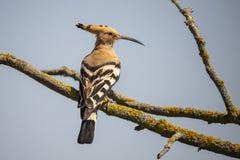 Pájaro del Hoopoe, Upupa Hoopoo, salto fotos de archivo
