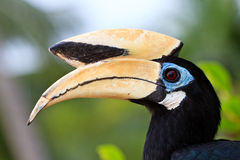 Pájaro del hornbill de Palawan en cierre para arriba fotografía de archivo libre de regalías