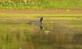 Pájaro del humedal: Focha común Fotos de archivo