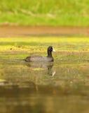Pájaro del humedal: Focha común Fotografía de archivo libre de regalías