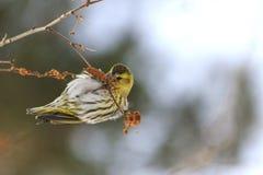 Pájaro del invierno que alimenta en los pendientes del abedul Fotografía de archivo