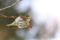 Pájaro del invierno que alimenta en los pendientes del abedul con apuroses soleados Foto de archivo libre de regalías