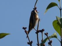 Pájaro del jilguero que se sienta en el árbol foto de archivo