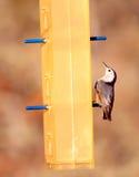 Pájaro del Junco Imagen de archivo