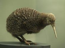 Pájaro del kiwi Imagen de archivo libre de regalías