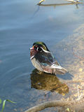 Pájaro del lago Imágenes de archivo libres de regalías
