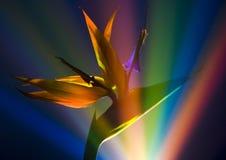 Pájaro del lirio del paraíso Fotografía de archivo libre de regalías