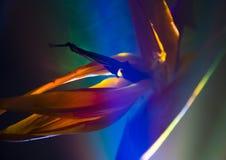 Pájaro del lirio del paraíso foto de archivo libre de regalías