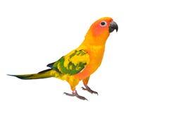 Pájaro del loro de Sun Conure Imagen de archivo libre de regalías