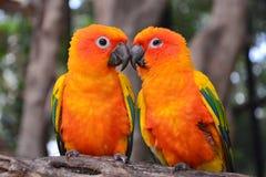 Pájaro del loro de Sun Conure Imagenes de archivo