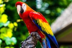 Pájaro del loro del Macaw del escarlata Imagen de archivo libre de regalías