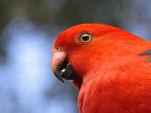 Pájaro del loro del rey Fotos de archivo libres de regalías