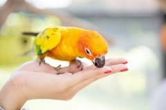Pájaro del loro que come las semillas Imagen de archivo