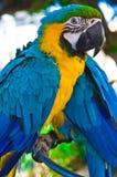 Pájaro del loro que se sienta en la perca Foto de archivo libre de regalías