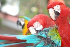 Pájaro del Macaw Foto de archivo libre de regalías