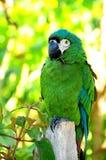 Pájaro del Macaw Fotos de archivo