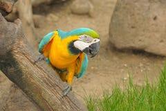 Pájaro del Macaw de la acción en parque zoológico. Imagen de archivo