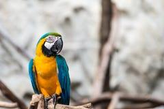 Pájaro del macaw del azul y del oro Foto de archivo