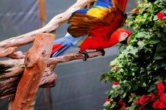 Pájaro del Macaw del escarlata en la rama de árbol, la Florida del sur Fotos de archivo libres de regalías