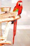 Pájaro del Macaw del escarlata en la rama, la Florida del sur Fotografía de archivo