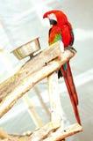Pájaro del Macaw del escarlata en rama de árbol en la Florida del sur Imagen de archivo libre de regalías