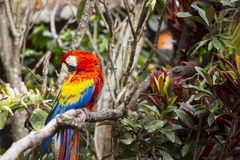 Pájaro del Macaw que se atusa mientras que se sienta en un árbol en una selva tropical Foto de archivo