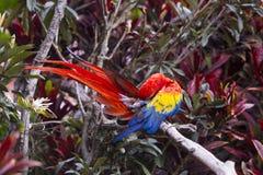 Pájaro del Macaw que se atusa mientras que se sienta en una rama en una selva Fotografía de archivo libre de regalías