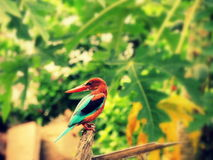 Pájaro del martín pescador foto de archivo
