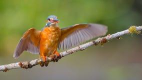 Pájaro del martín pescador Imágenes de archivo libres de regalías