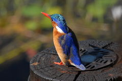 Pájaro del martín pescador de la malaquita Imagen de archivo libre de regalías