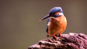 Pájaro del martín pescador que se sienta en una rama almacen de video