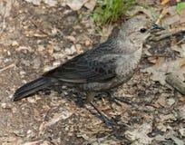 Pájaro del mendigo Foto de archivo