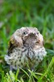 Pájaro del minero del bebé Imagen de archivo