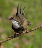 Pájaro del ojo azul: Tordo de risa throated blanco después de un baño Imágenes de archivo libres de regalías