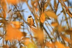 Pájaro del otoño de hojas de oro Imagen de archivo libre de regalías