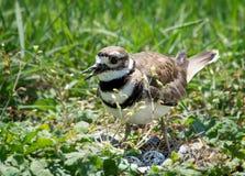Pájaro del padre que protege sus huevos en jerarquía fotos de archivo