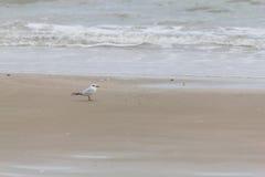 Pájaro del palliatus del Haematopus en la playa de Cassino Foto de archivo