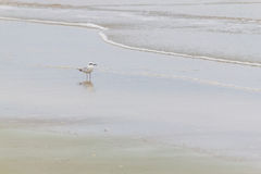 Pájaro del palliatus del Haematopus en la playa de Cassino Imagenes de archivo
