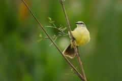 Pájaro del pantanal en el hábitat de la naturaleza Fotografía de archivo