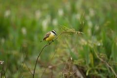 Pájaro del pantanal en el hábitat de la naturaleza Imágenes de archivo libres de regalías
