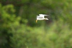 Pájaro del pantanal en el hábitat de la naturaleza Foto de archivo libre de regalías