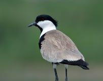 Pájaro del pantano Fotos de archivo libres de regalías