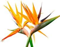 Pájaro del paraíso Imagen de archivo