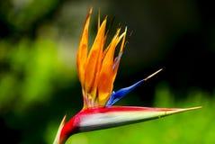 Pájaro del paraíso imagenes de archivo