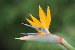 Pájaro del paraíso Fotos de archivo